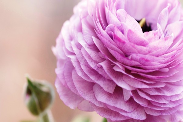 Flor con pétalos rosas