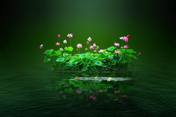 Flores de nenúfar agrupadas en el agua