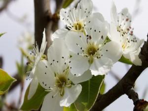 Postal: Flores de pera