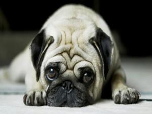 Un pequeño perro tristón