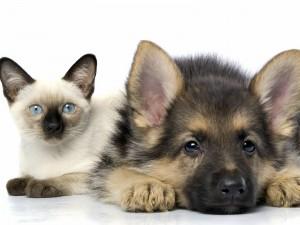 Un gato siamés con un perro