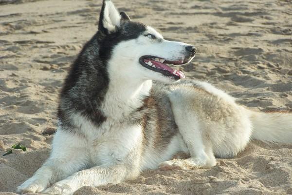 Un husky en la arena