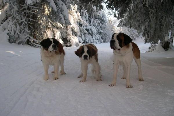 Tres san bernardos en la nieve