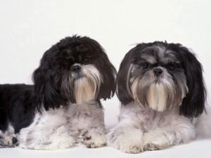 Dos perros peludos