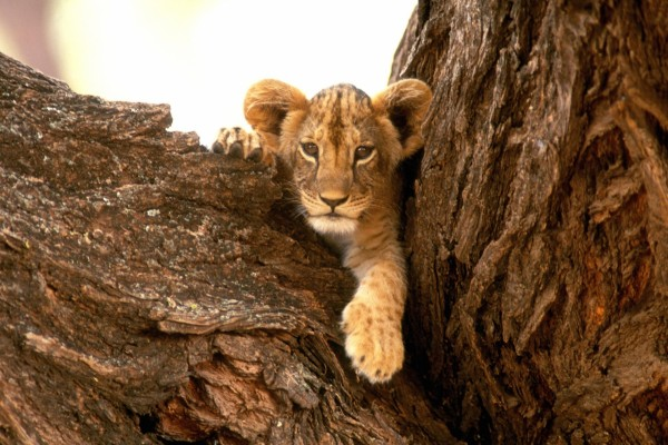 Pequeño león en el tronco del árbol