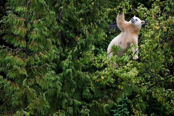 Un oso recogiendo frutos en las ramas del árbol