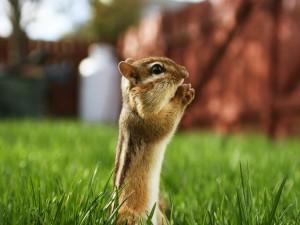 Una ardilla en la hierba