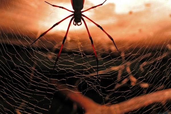 Araña de patas largas en la tela