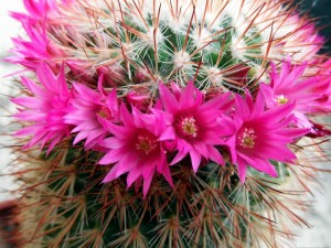 Postal: Cactus con flores color fucsia