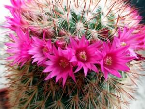 Cactus con flores color fucsia