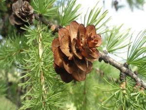 Una piña en las ramas del pino
