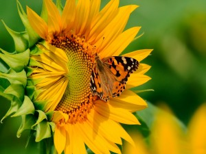 Postal: Mariposa posada en un girasol