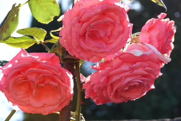 Rosal con grandes rosas