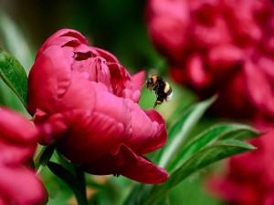 Postal: Una abeja junto a la flor roja