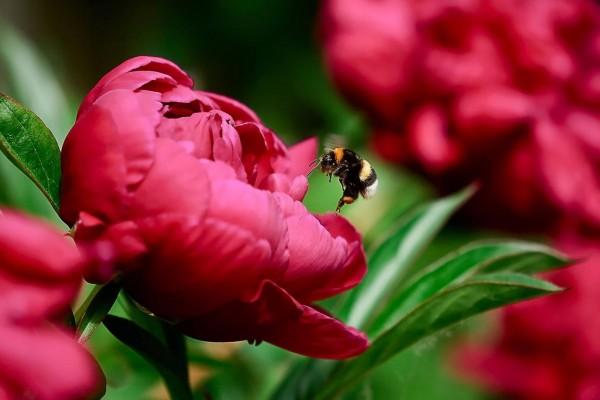 Una abeja junto a la flor roja