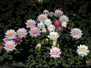 Flores de nenúfar en la noche