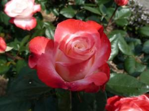Rosas en dos colores