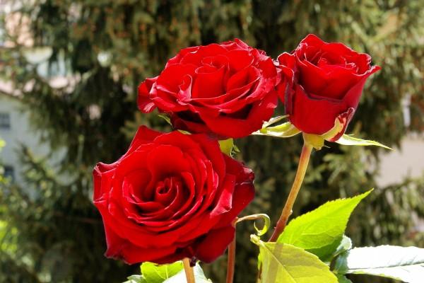 Tres rosas rojas en el rosal