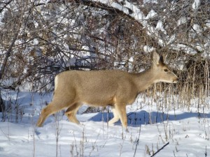 Postal: Ciervo en la nieve