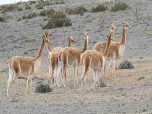 Postal: Un grupo de vicuñas