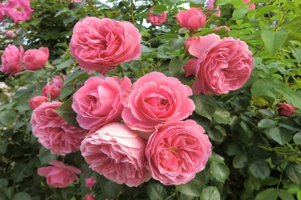 Rosal poblado de rosas