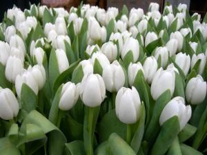Tulipanes blancos con sus hojas verdes