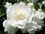Hermosas rosas de color blanco