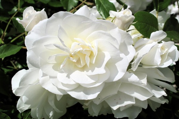 Hermosas rosas de color blanco