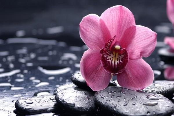 Una flor de orquídea sobre las piedras húmedas