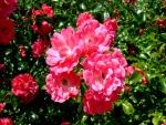 Rosas de color rosa en todo su esplendor