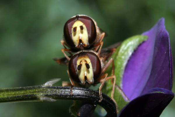Dos extraños insectos sobre el tallo de una flor