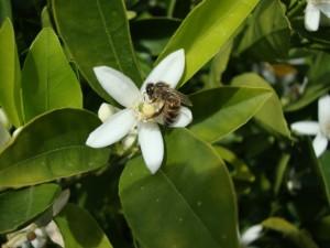 Abeja sobre la pequeña flor blanca