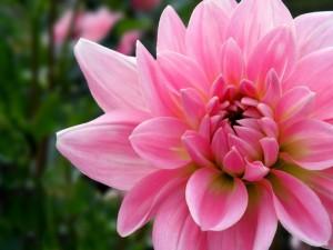 Gran flor con pétalos rosas