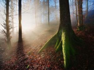 Postal: Gran árbol con musgo en el bosque