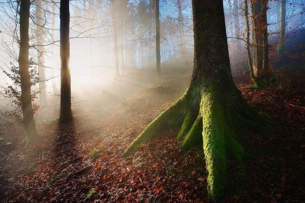 Gran árbol con musgo en el bosque