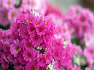 Planta con pequeñas flores de color fucsia