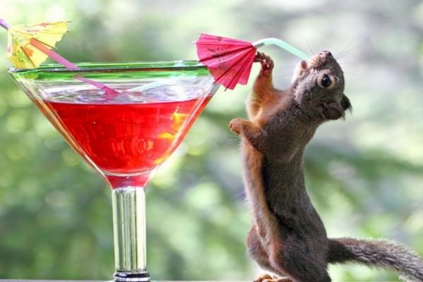 Ardilla bebiendo un cóctel