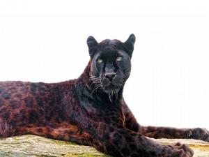 Un jaguar negro