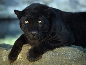 Postal: Una pantera negra tumbada