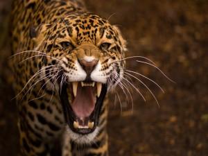 Los colmillos del Jaguar