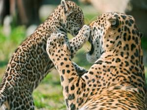 Cachorro de jaguar jugando con mamá