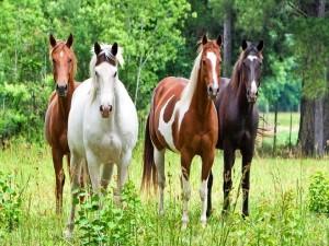 Postal: Cuatro caballos en el campo