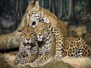 Postal: Tres jaguares