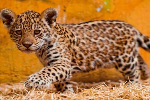 Pequeño jaguar
