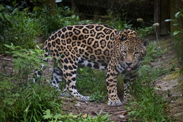 Jaguar en un zoo