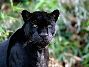 El brillante pelaje negro de la pantera