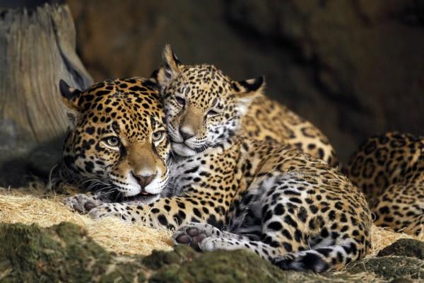 Jaguar hembra con su cachorro
