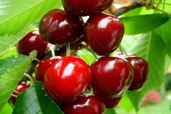 Cerezas rojas en el árbol