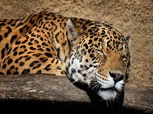 Postal: Jaguar dormido