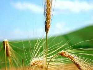 Una sola espiga de trigo recta